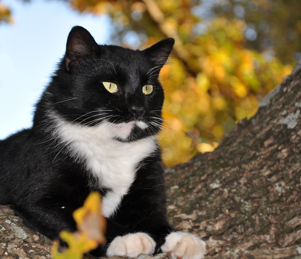 Handsome tuxedo cat with striking eyes surveying world from his tree